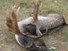 2009-es Dám bika, Csókáserdő