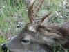Eredményes őzbak vadászat